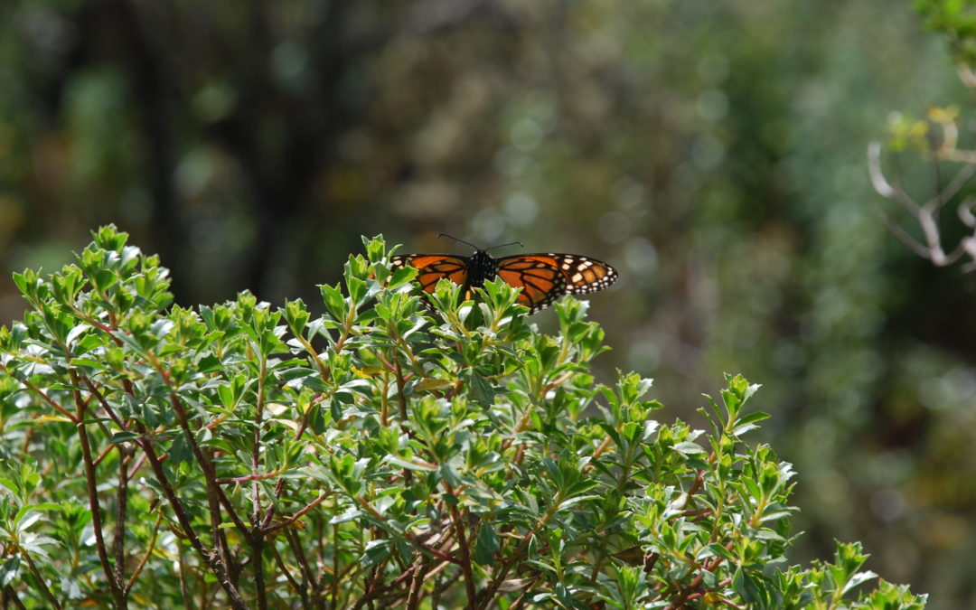 the journey of the Monarch butterflies